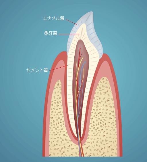歯の構造(エナメル質、象牙質)