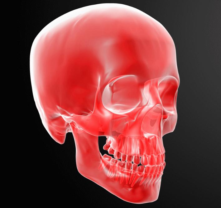 頭部骨の人体模型